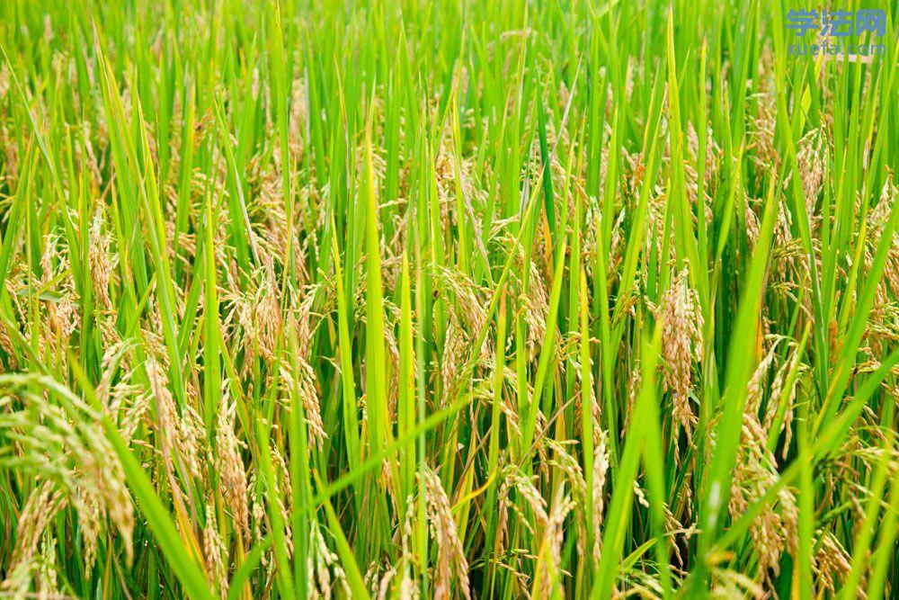 8月的稻谷.jpg